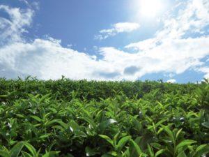 茶畑と青空